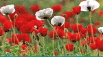 A field of red and white poppies